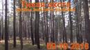 Рыжики грибы сбор в лесу 09 10 2018 тихая охота выживание в лесу сибирь тайга рыжик гриб поход в лес