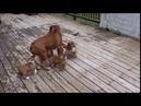 Папа боксёр и его детишки
