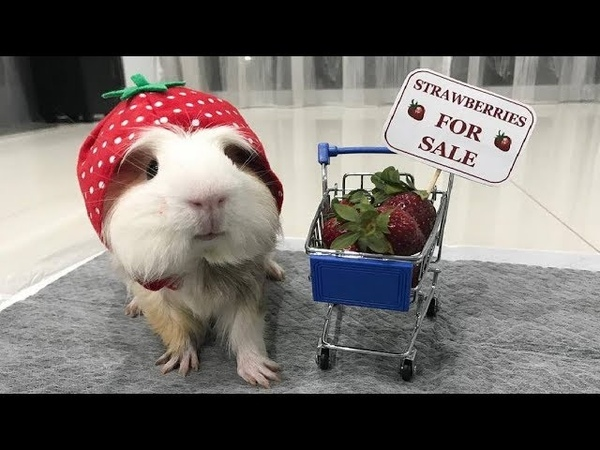 Funny And Cute Guinea Pig Videos 3 - Funny Pets 2018
