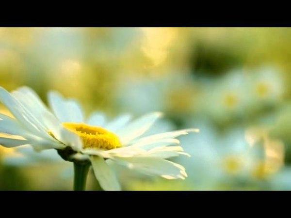 Красивые цветы ромашки Музыка и фото