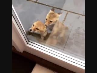 Эй хозяин,впусти нас! мы знаем ты курочку готовишь!