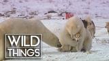 Husky Playing With Polar Bears Wild Things