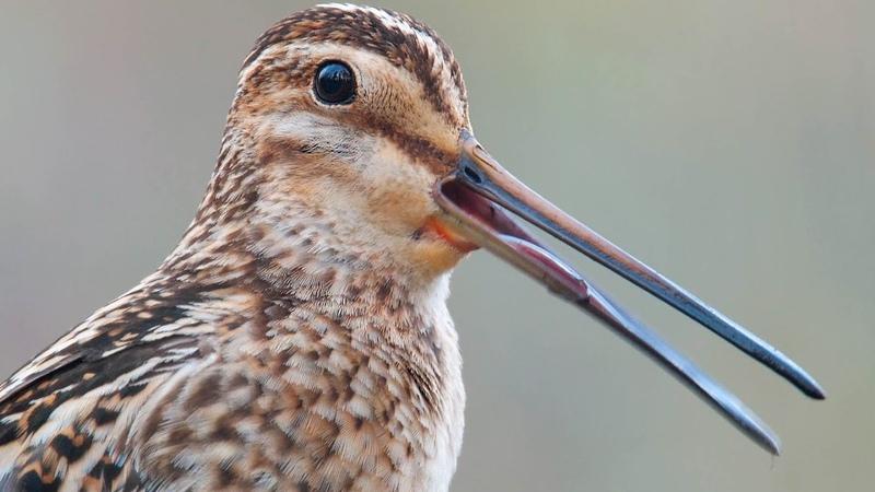 Common Snipe. Singing male. Gallinago gallinago.