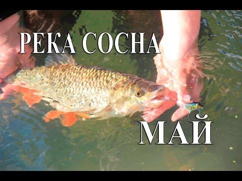 Ловля голавля в Липецкой области Река Сосна Май