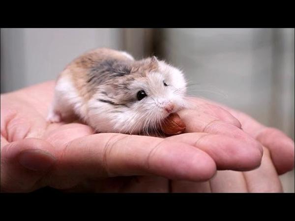Породы хомяков Breeds of hamsters Интересное о хомяках
