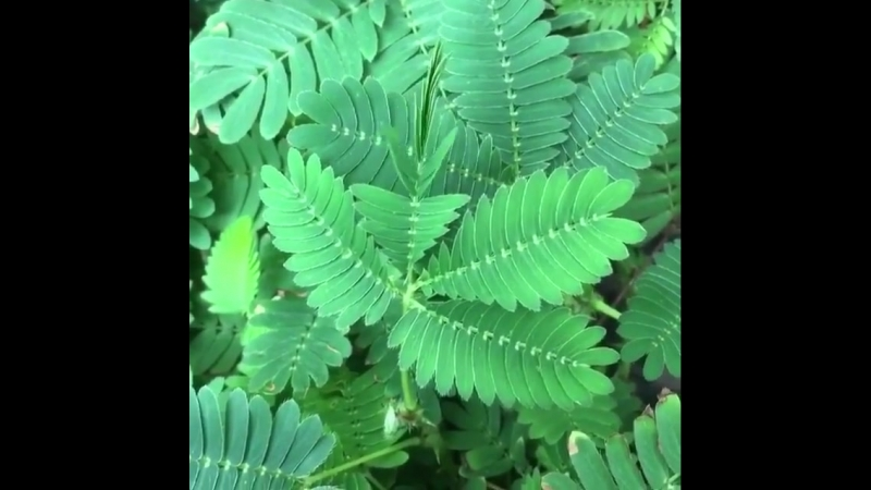 Mimosa pudica or shy pland