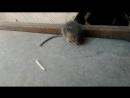 фартовая мышка