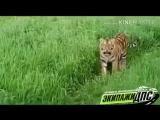 Очевидцы засняли на видео двух амурских тигров