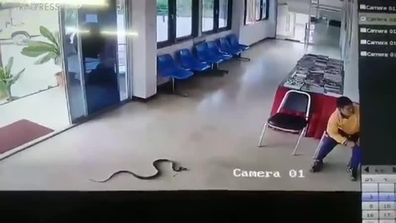 В Таиланде змея заползла в полицейский участок и напала на ожидающего посетителя, но мужчи