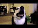 Siberian huskies saying I love you