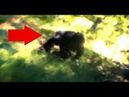 SCARY BIGFOOT CHARGES AT ME CAUGHT ON VIDEO Panicked Hiker Films An Agitated Real Sasquatch