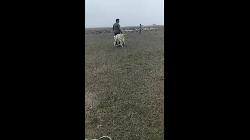 Cihanbeyli taşpınar'ın parlayan yıldızı WAMPİR Altınekin baş köpeği BEŞOo