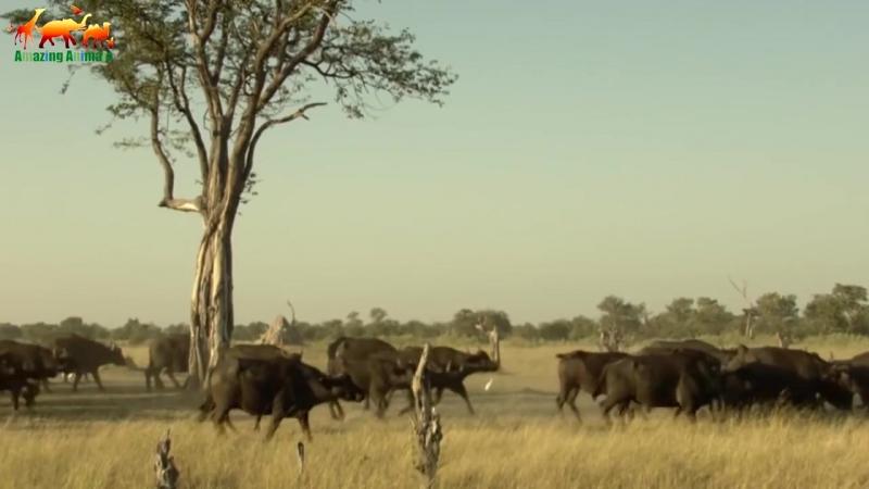 Лев против буйвола Кровная вражда Документальный фильм 2018