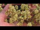 Манго \ Mangifera indica. Цветение манго.