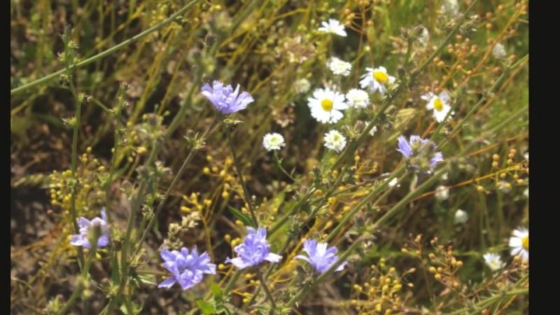 Полевые цветы полевые цветы незатейливы неказисты