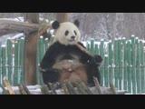 Панды и первый снег