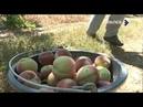 Сбор урожая персика