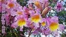 Муравьиное дерево ★ По Д'Арко ★ Tabebuia impetiginosa ★ Pau D'Arco лекарственное растение