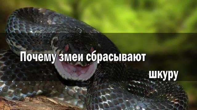 Кит Stupid Show - Почему змеи сбрасывают шкуру?