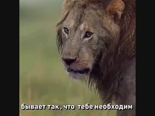 Даже если ты лев.