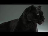 Black Leopard - Slow Motion Cats Phantom Camera Series