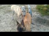 Ирландский волкодав Бьярне. С Афиной и Гансом.