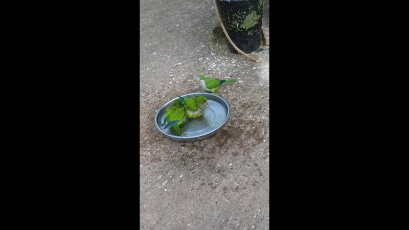 Parrots in water washed