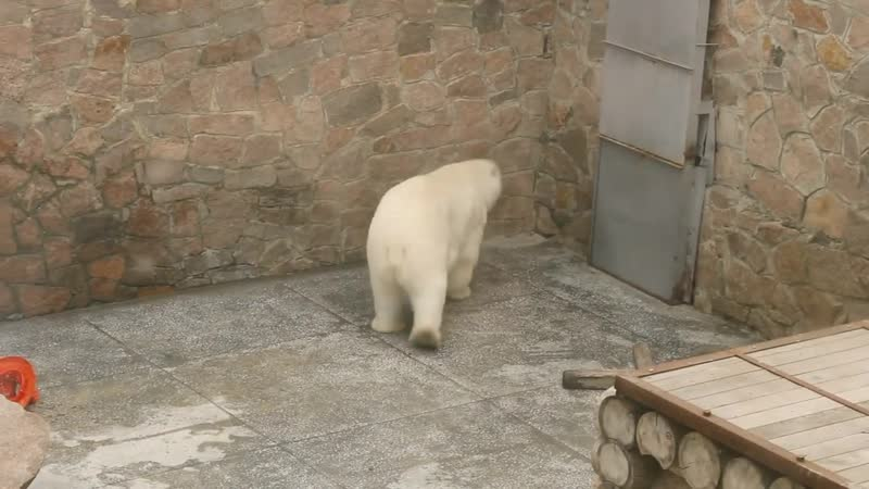 Белый медведь танцует