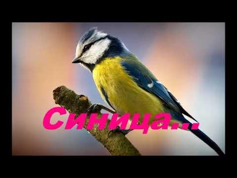 Птица синица - В Мире Природы
