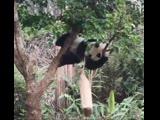 Много неуклюжих панд
