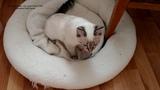 Тайский котёнок Линда лучше всех играет мышкой в конце видео! Тайские кошки это чудо! Funny Cats
