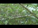 Ловля королевских синиц (Parus spilonotus)