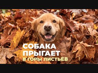 Собака прыгает в горы листьев