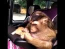 Обезьян очень много Обезьяны все разные Шимпанзе например Человекообразные