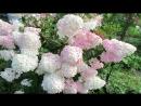 8873 Ванилла Фрайз и Кьюшу средняя стадия цветения соцветий