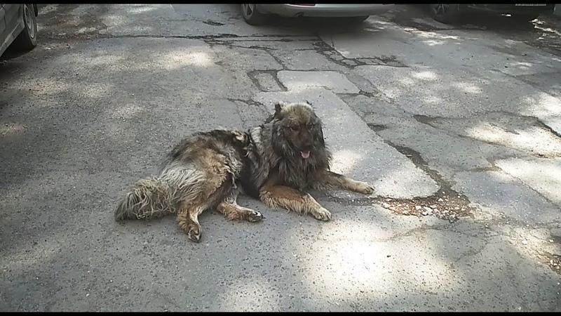 Кавказская овчарка найдена во дворе дома на Крупской