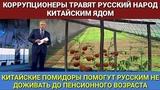 Китайские помидоры помогут чиновникам и олигархам чтобы русские не дожили до пенсионного возраста