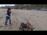 Dolce Vita &amp Drive Crazy, 4,5 мес., apbt kennel