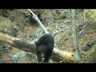 Гималайский медведь подвинул фотоловушку лапой и попался в объектив камеры