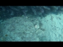 Гурзуф крупный Морской ерш Скорпена