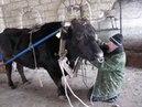 Наш папа и бычара Запрягает быка