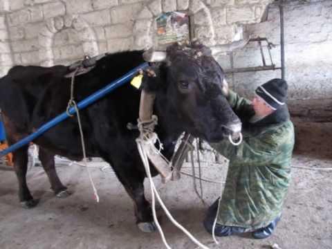 Наш папа и бычара! Запрягает быка.