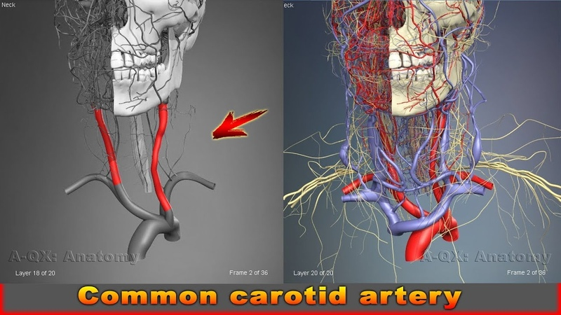 Common carotid artery | Arteries of head and neck | 3D Human Anatomy | Organs