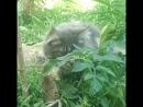 Мейн Кун Зита г Тобольск Кошка котята
