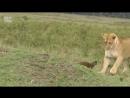Да ну его неадекватный какой то Львы против мангуста