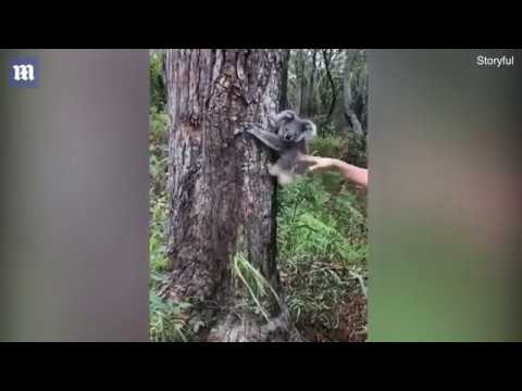 В Австралии спасенная коала не хотела возвращаться в дикую природу без друга