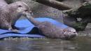 Речная ондатра Тилли инструктор по плаванию