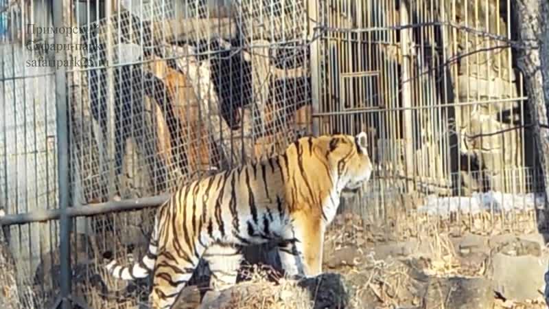 Тигра Амура забирают из Приморского сафари парка