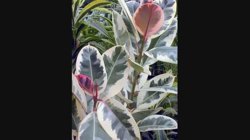 Ficus Elastica. Размножение и омоложение