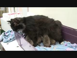 Мама Муся кошка усыновила восьмерых ёжиков-сирот